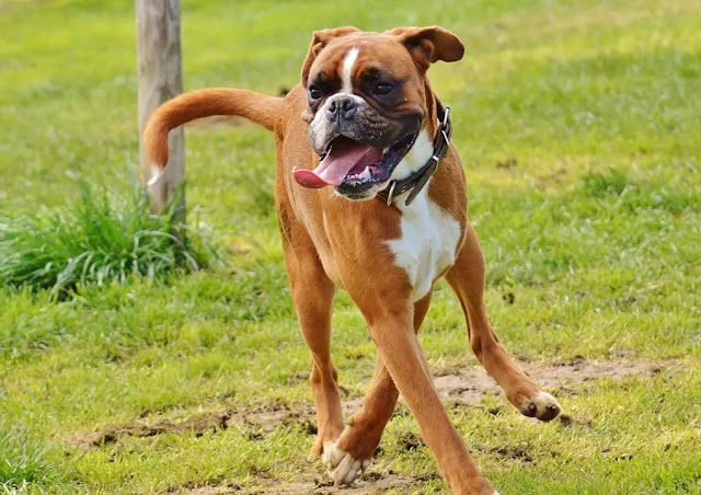 The 10 Most Popular Large Short Haired Dog Breeds The Buzz Land In 2020 Boxer Dogs Facts Boxer Dogs Dog Breeds