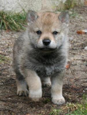 Bellissimo cucciolo di cane lupo cecoslovacco <3