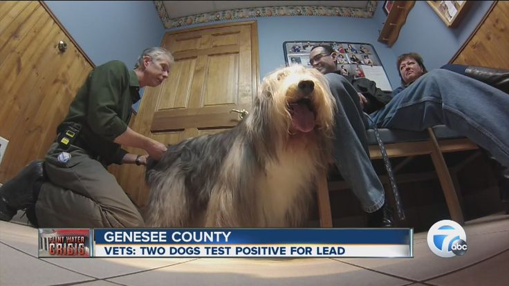 """Veterinarians across Genesee County say more pet owners are expressing concerns in Flint's ongoing water crisis, after state officials said two dogs tested positive for lead.   """"Of course we're recommending that the individuals that are in the area where the water's been contaminated be using bottled water, just as they would with themselves and their children. dogs and cats are also susceptible to the effects of the lead,"""" Dr. Hendricks said."""
