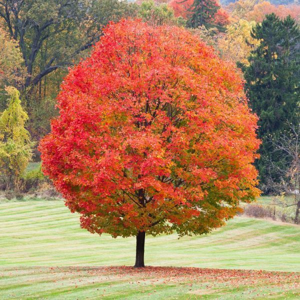 Sugar Maple Red Maple Tree Fast Growing Trees Shade Trees