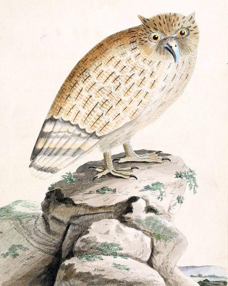 Ketupa bosonoga (Brown 1776)