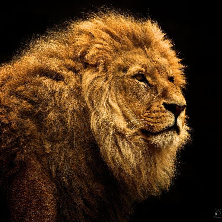 León sobre negro. Obra de Christian Meermann