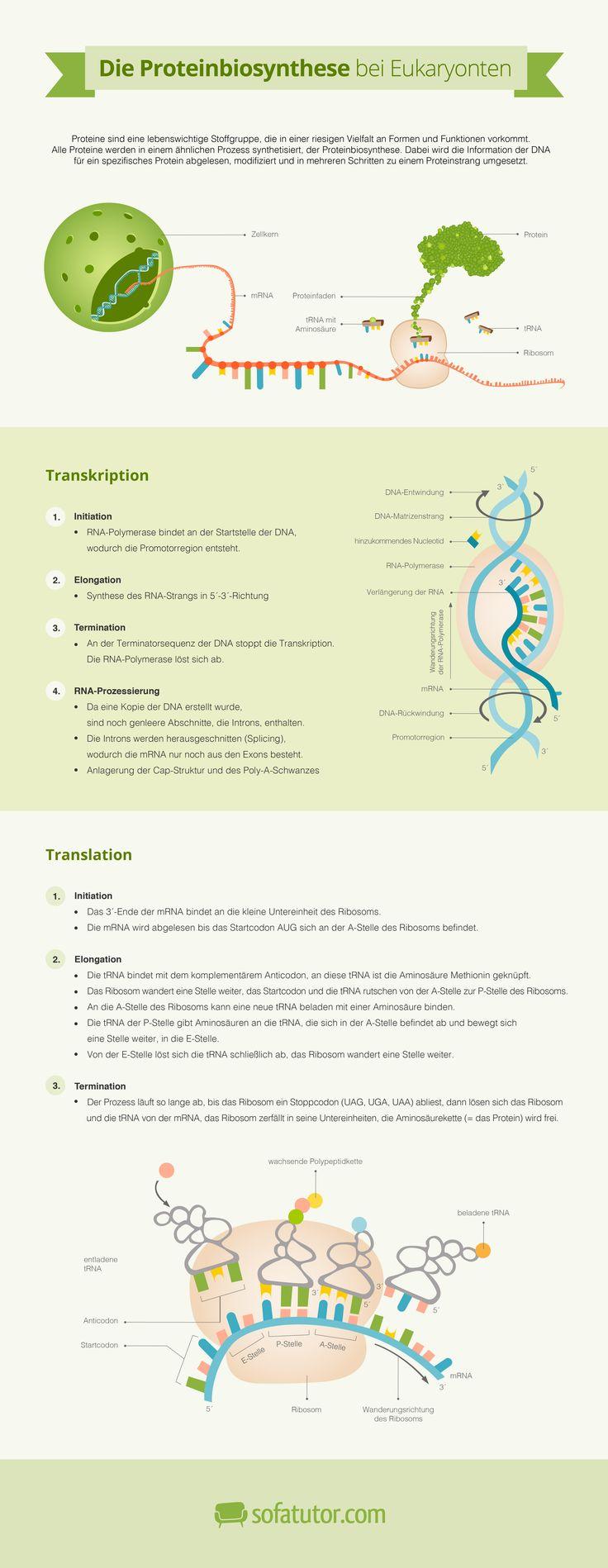 """Biologie Abitur 2015: sicher lernen und auf die Abi-Prüfung in Bio vorbereiten mit der Infografik zum Abitur-Thema """"Die Proteinbiosynthese bei Eukaryonten"""" (http://magazin.sofatutor.com/schueler/)"""
