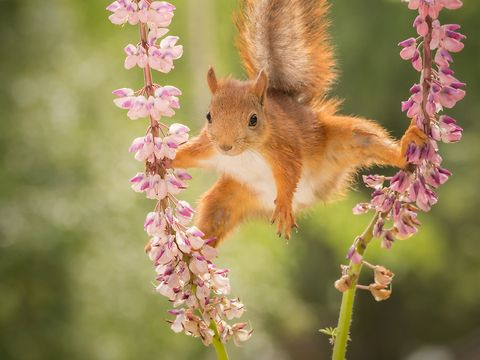 wild red squirrels photos and movies in a split between lupine flowers by Geert Weggen