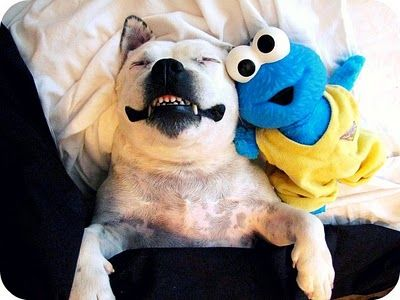 Smiling Staffordshire Bull Terrier Sleeping With Cookie