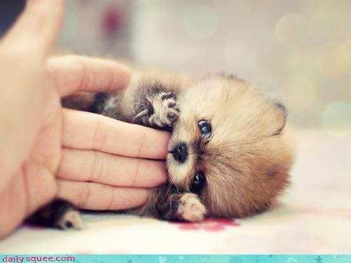 Oh my squee! It's an itty bitty pomeranian puppy that can fit in the palm of your hand! Which is all fine and well, until it starts eating your fingers. But oh well. I don't even need fingers! Gnaw away, sweet little baby!