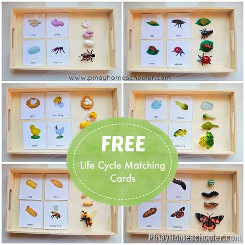 Free Life Cycle Matching Cards from The Pinay Homeschooler