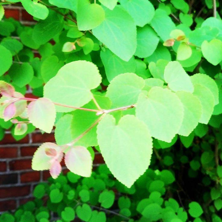Katsura tree - <3 shaped leaves, early summer by Hämeenlinna railwaystation