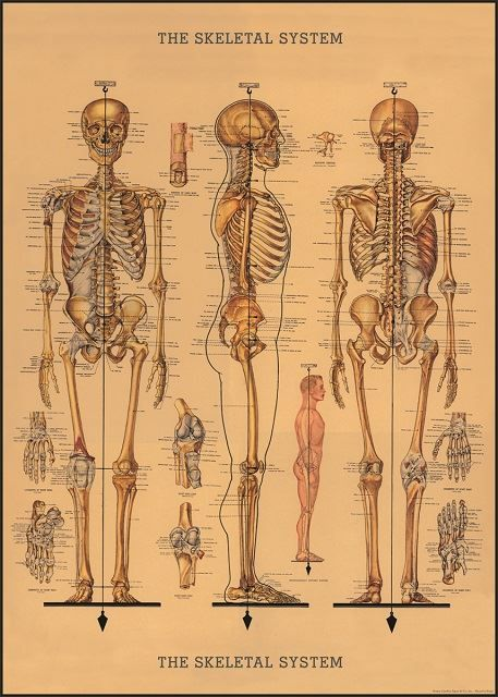 Poster/Giftwrap Skeleton at Evans and Hall $6.95 #Cavallini
