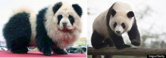 17 chiens qui ressemblent à autre chose   17 chiens qui ressemblent a autre chose panda