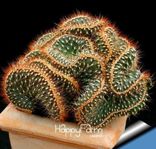 Venda quente! 10 Sementes/Lot mini cactus semente (Astrophytum) Raros suculentas plantas sementes DIY jardim de casa flor Flores, # PN6RHB(China (Mainland))