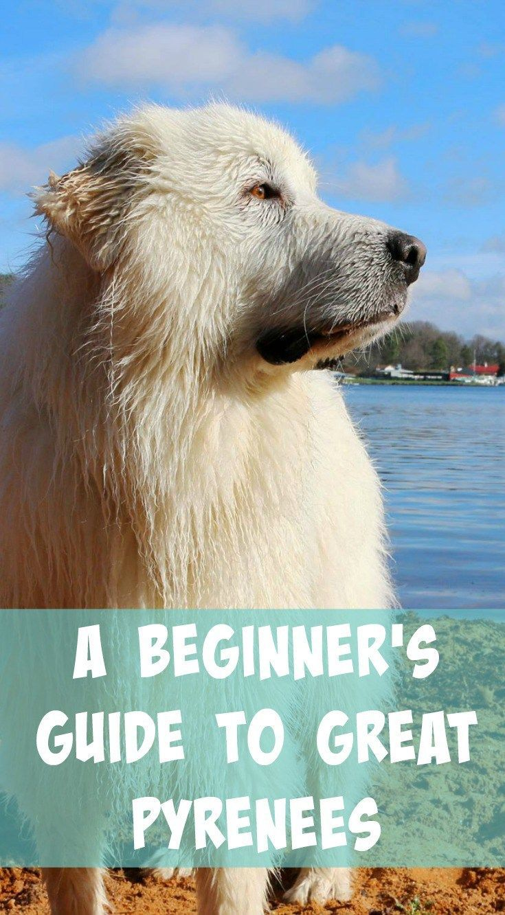 Great Pyrenees Info A Beginner S Guide Great Pyrenees Great