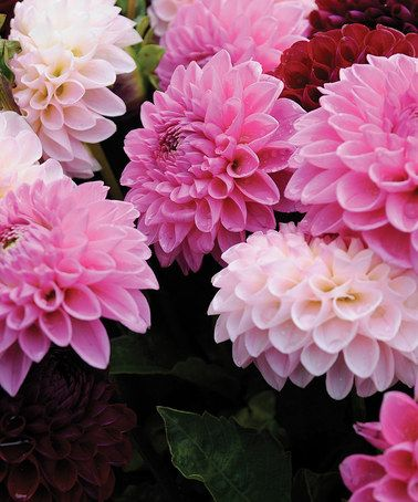 Another great find on #zulily! Lilac Time Dahlia Bulb - Set of Six #zulilyfinds