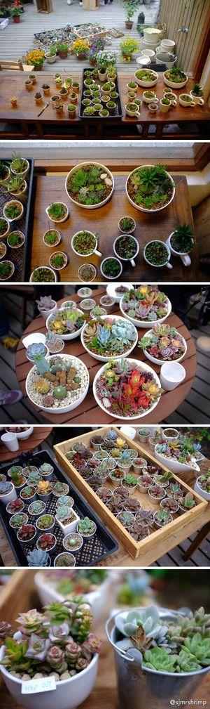 A smorgasbord of baby succulents...