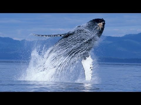 Magic humpback whales fly in this video