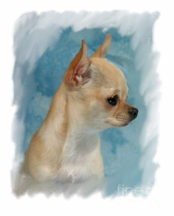 BEAUTIFUL Chihuahua Larry Mathews - fineartamerica.com