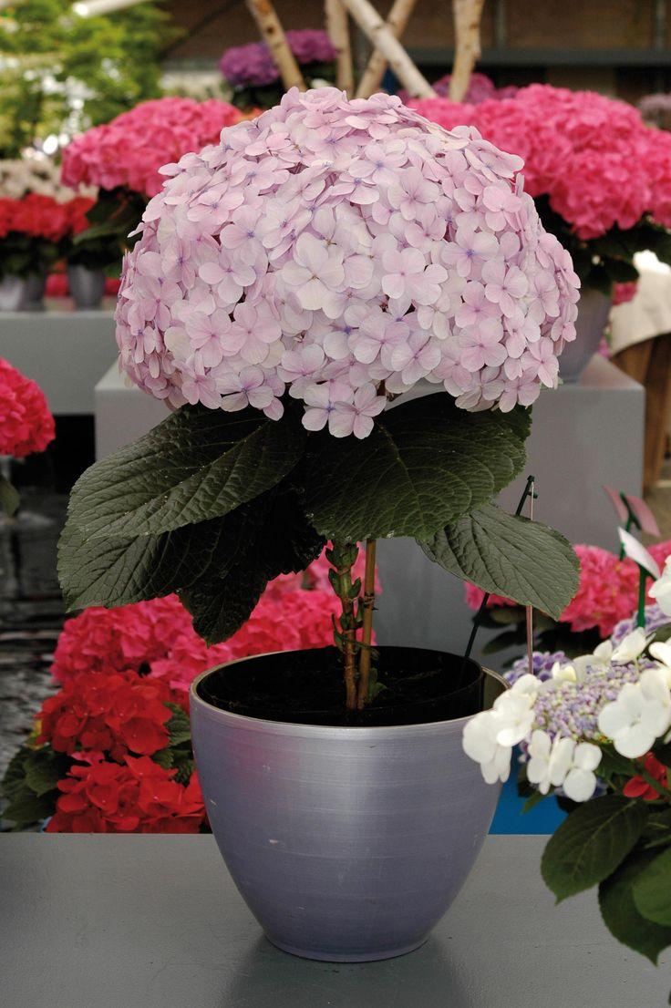 Una fioritura davvero imponente per questa hydrangea (ortensia) rosa chiaro