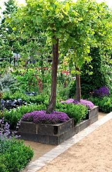 Vitis vinifera standards in raised timber beds und...