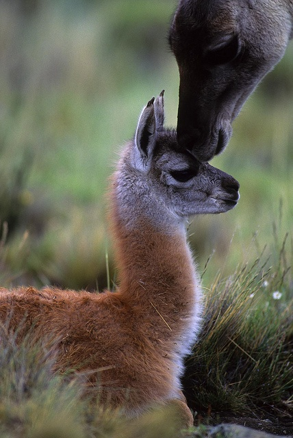 Guanaco (Lama guanicoe)  baby with mother at Torres del Paine National Park, Chile