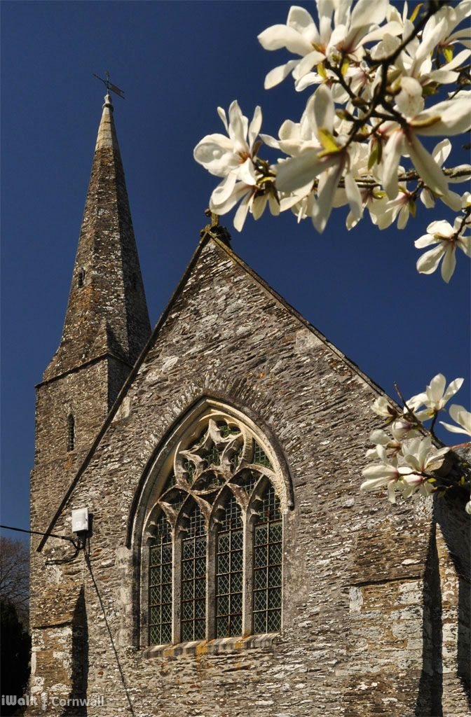Magnolia outside Sheviock church, Cornwall