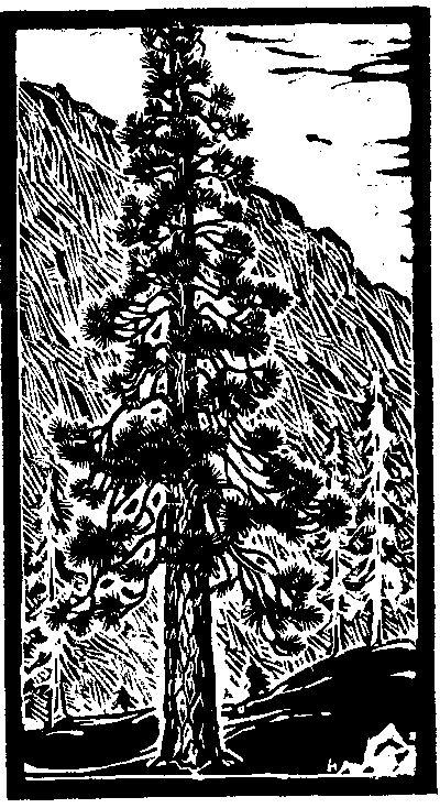 Ponderosa Pine Tree, Trees of Yosemite (1932,1948) Mary Curry Tresidder