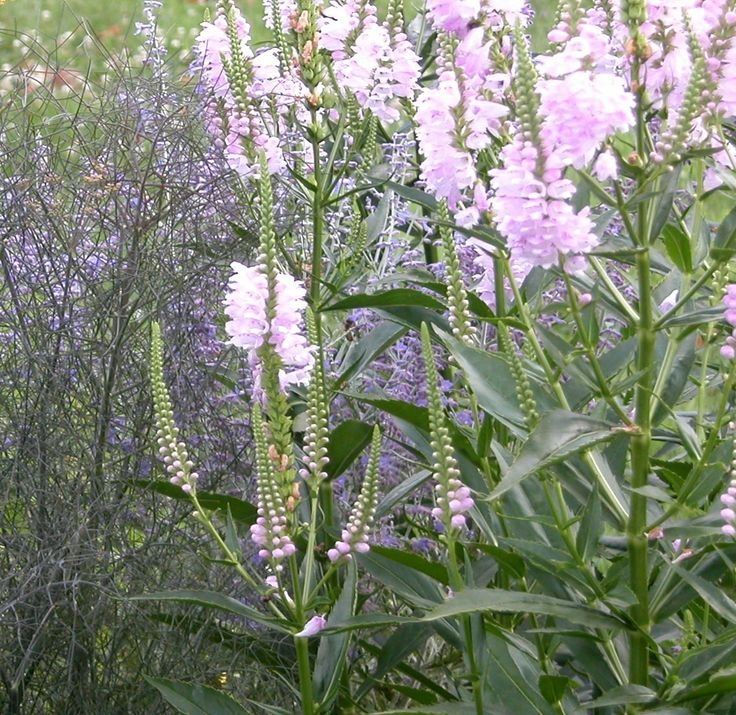 Obedient Plant - Growing Obedient Plant, False Dragonhead - Physostegia virginiana