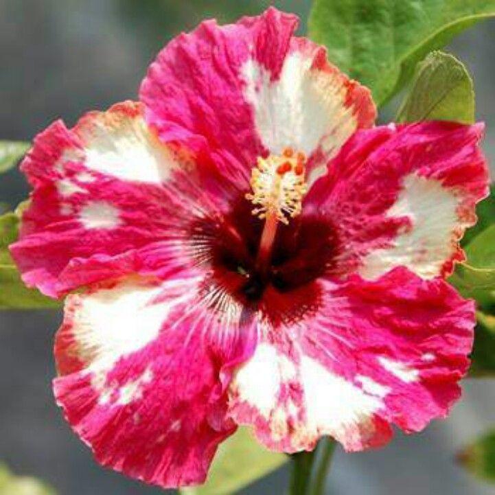 Giant hibiscus wild allure