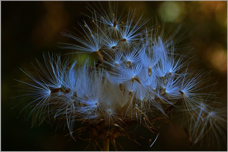 Photo Mania Greece: Seeds of a thistle