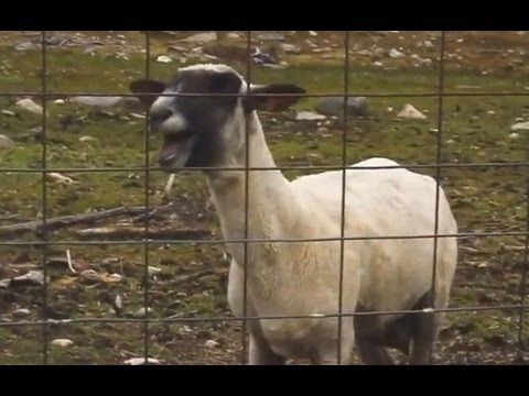 top 5 goat remix music videos. Can't stop laughing!