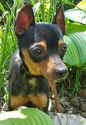 Pictures Of Jace A Miniature Pinscher For Adoption In Bridgeton