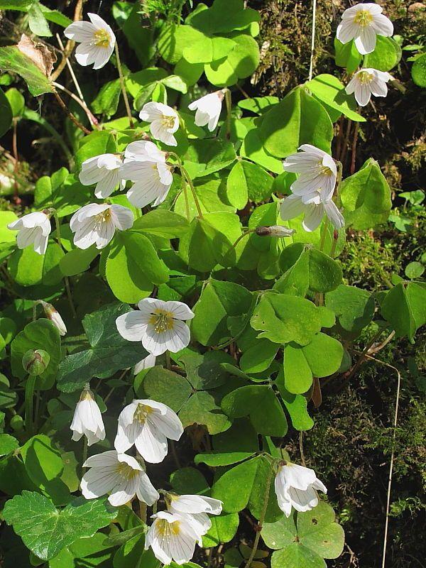 Ketunleipä / Käenkaali / Revonrieska   Oxalis acetosella   Wood sorrel / Common wood sorrel  to: undergrowth for ferns
