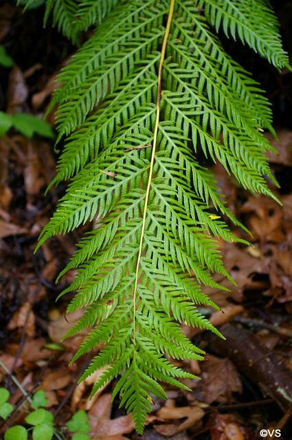 327 best ferns images on pinterest ferns plants and