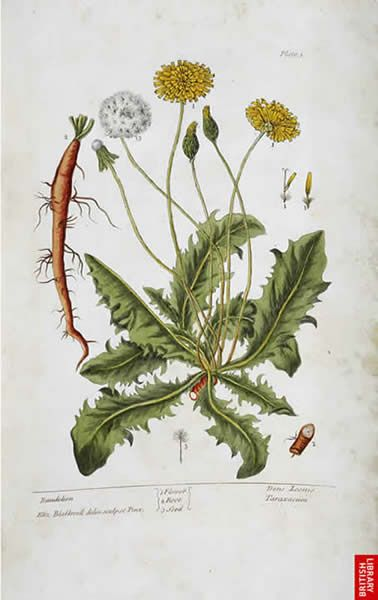 [ Botanical Art: Dandelion by Elizabeth Blackwell ] ~ from the British Library online bl.uk
