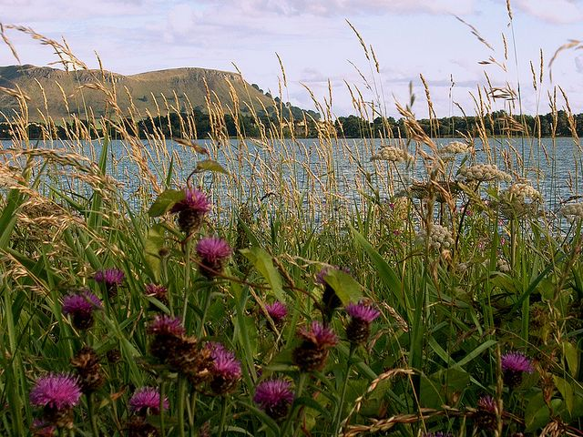 Centaurea blooming at Loch Leven by Rusty the Scot, via Flickr