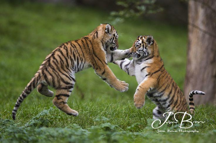 https://flic.kr/p/LrNsXB | Milla and Bagai's Cubs 207 | Milla and Bagai had…