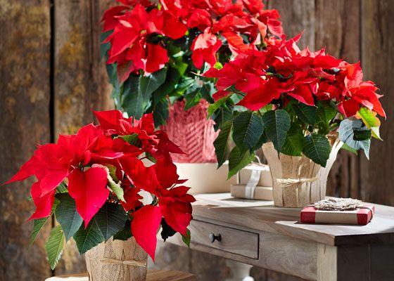 Já conhece a Flor do Natal?
