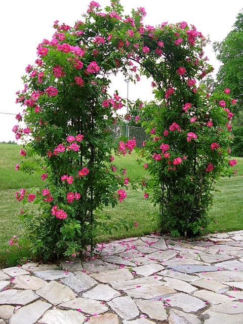 Beautiful rose arbor.