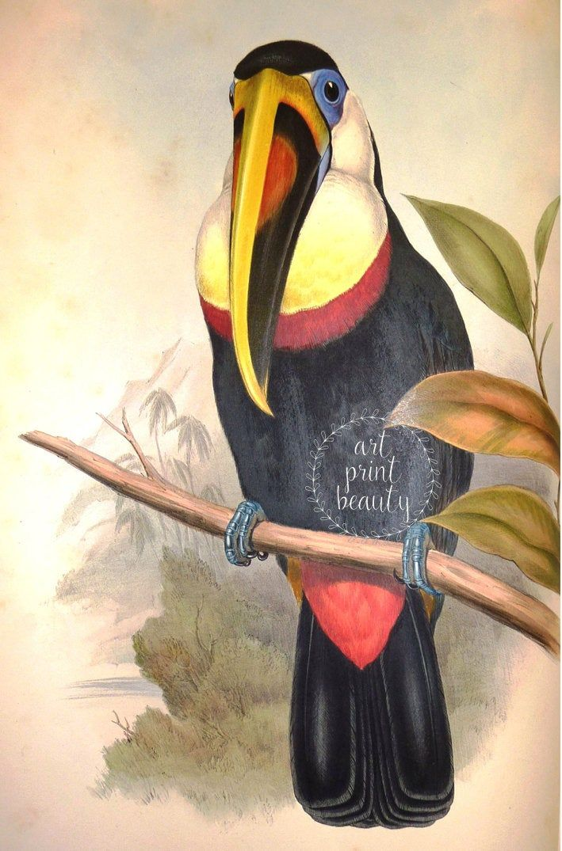 Large Wall Art Tropical American Bird Toucan Print Wild Bird Picture Fine Art Decor