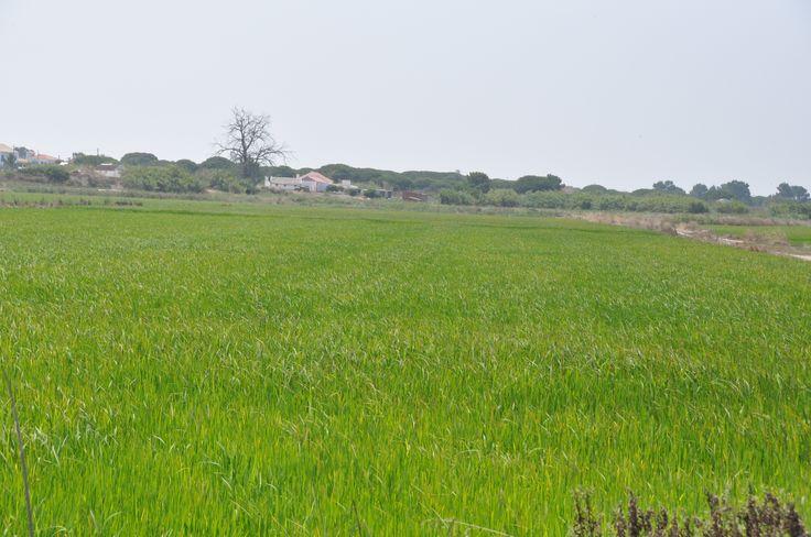 Green fields of rice