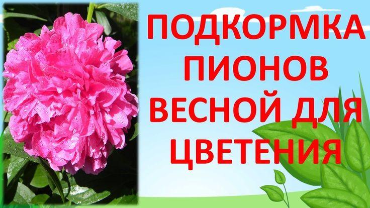 ПОДКОРМКА ПИОНОВ ВЕСНОЙ ДЛЯ МОЩНОГО ЦВЕТЕНИЯ удобрение - Фертика цветочная. от тли - фитовермом
