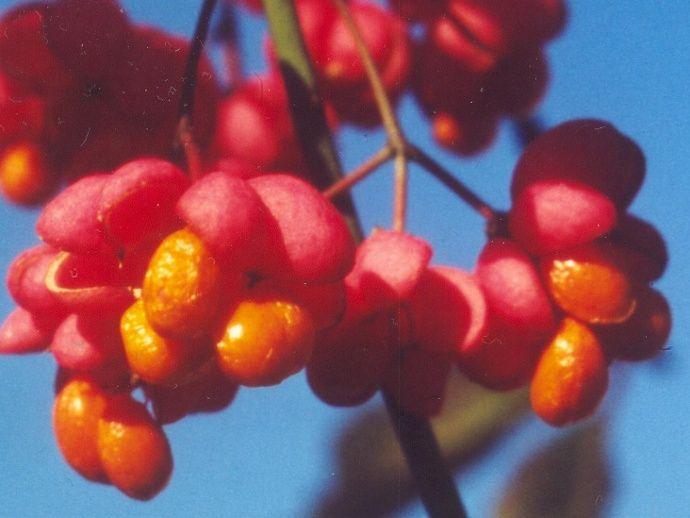 Pfaffenhütchen (Euonymus europaeus) - Giftpflanze des Jahres 2006