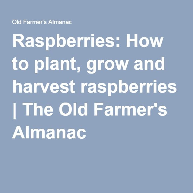 Raspberries: How to plant, grow and harvest raspberries | The Old Farmer's Almanac