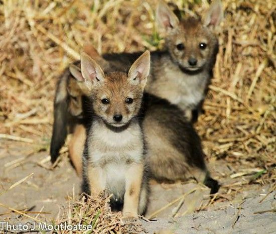 Adorability factor off the charts! Side-striped jackal pups in the Busanga Plains