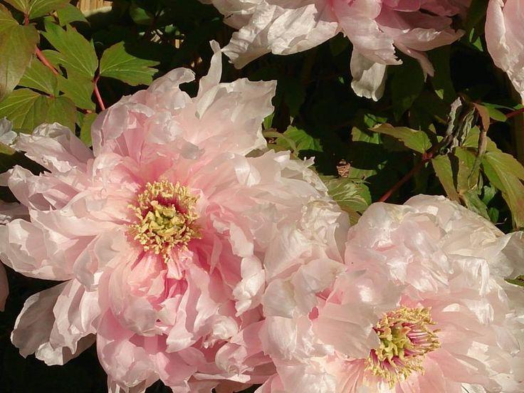1月10日の誕生日の木は「カンボタン(寒牡丹)」です。 ボタン科ボタン属の落葉低木。カンボタンはボタンの変種です。原産地はボタンと同じく中国。中国で薬用として生まれたボタンは、唐の時代に観賞用として大流行し、花の王様とされました。日本へは、奈良時代に渡来。寺院などに植えらたといわれています。 寒の文字を名前に持つカンボタンですが、開花期は冬(12月~1月ころ)と春(4月~5月ころ)の二季咲きです。冬場の花の少ない時季に花が見られるので寒の文字が付けられました。
