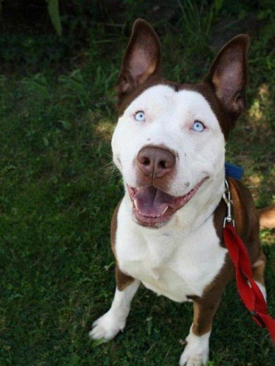 perro blanco con cafe con los ojos azules de husky