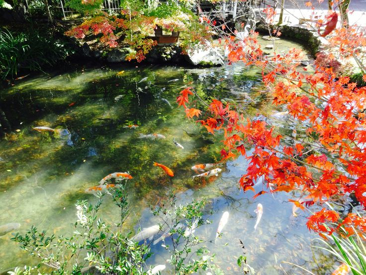 Fish pond with red Japanese maples