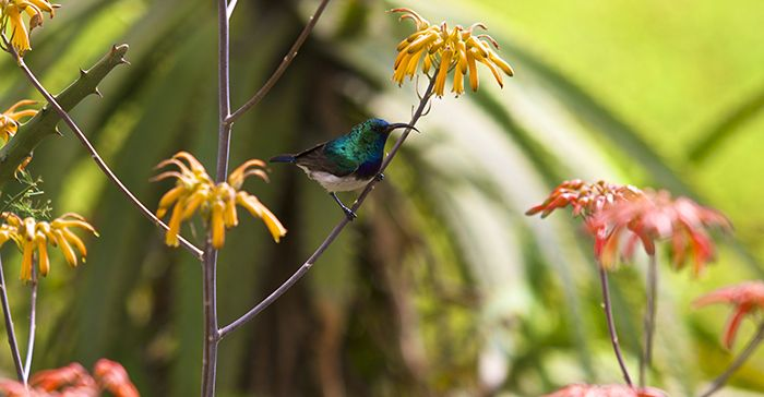 A male white bellied sunbird found feeding in the Varty car park. Photograph by Lucien Beaumont.