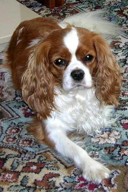 Pictures of Cavalier King Charles Dog Breed, its like having Lady from the Lady and the Tramp!