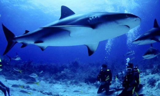 Científicos usan ecografías en mamás tiburones