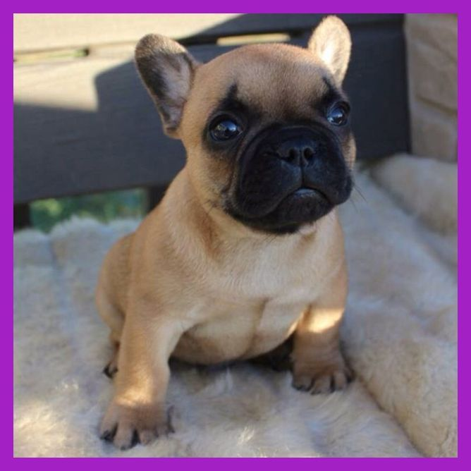 We Have Gorgeous Blue Sable Tri French Bulldogs For Sale 8